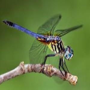 dragonfly (Custom)